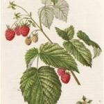 Малина обыкновенная (RUBUS IDAJUS L.)