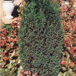 Кипарисовик (Chamaecyparis)