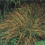 Карекс (Carex)