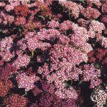 Гвоздикa (Dianthus)