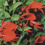 Эритрина (Erythrinas)
